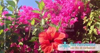 Fleurs de Kerkennah hibiscus bougainvilliers, Florilège de couleurs