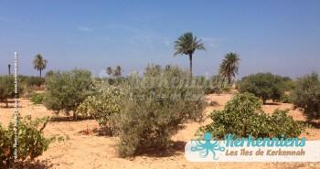 Kerkennah, oliviers, figuiers, vignes et palmiers... héritage de la Rome antique - Kerkennah (Tunisie)