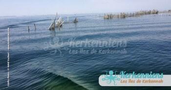 Sortie matinale en mer le long des charfias - Pointes palmes charfias kerkenniennes - Kerkennah (Tunisie)