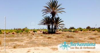 Splendeur du roi de Kerkennah, le palmier, arbre des pécheurs Kerkennah (Tunisie)
