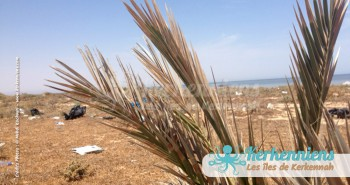 Terre sauvage palmier survivant déchets Kerkennah (Tunisie)