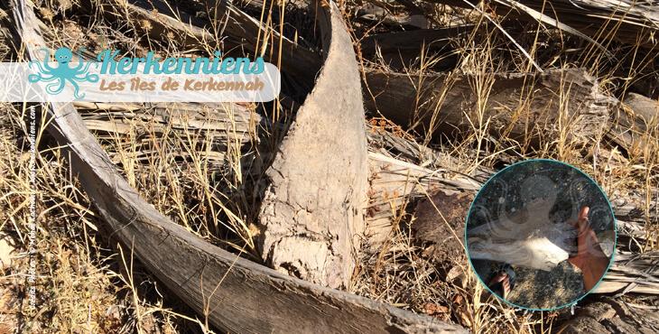 Jrida et spathe (garnef) en forme convexe garnef de 40 cm environ