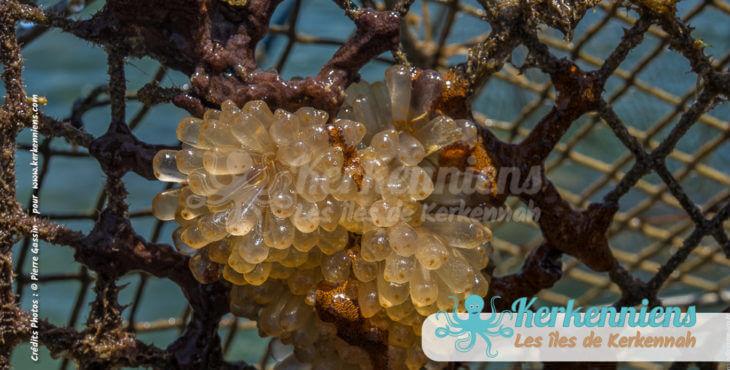 Perles d'eau, l'algue entrelacée défie les parures des reines de ce monde