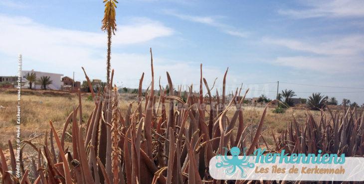 Plante Aloe vera délimiteur de terrain naturel à kerkennah