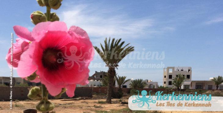 Un peu de rose, de palmier, insolite duo à Kerkennah
