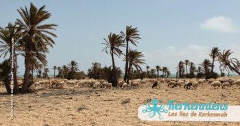 Kerkennah, Diamant de la Tunisie (moutons et palmiers)