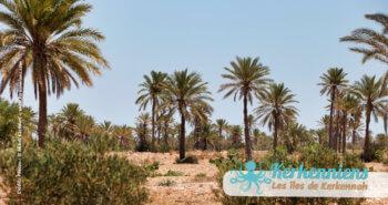 Les kerkeniens et les produits alcoolisés : hmada terres agricoles Kerkennah Tunisie