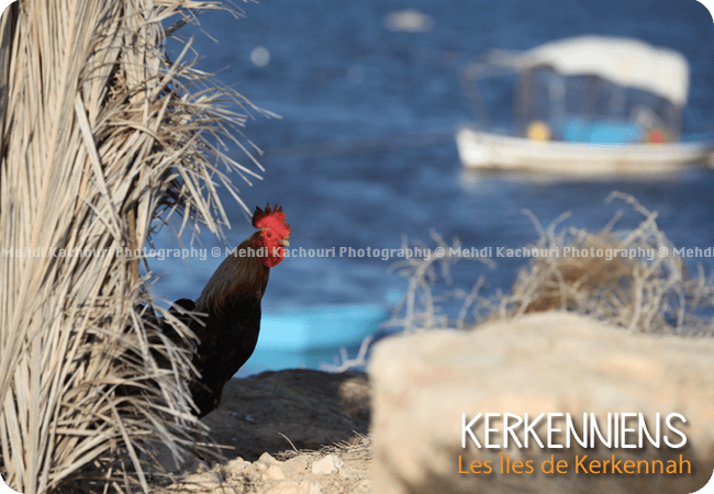 Photo de Coq à Ouled Yaneg Kerkennah