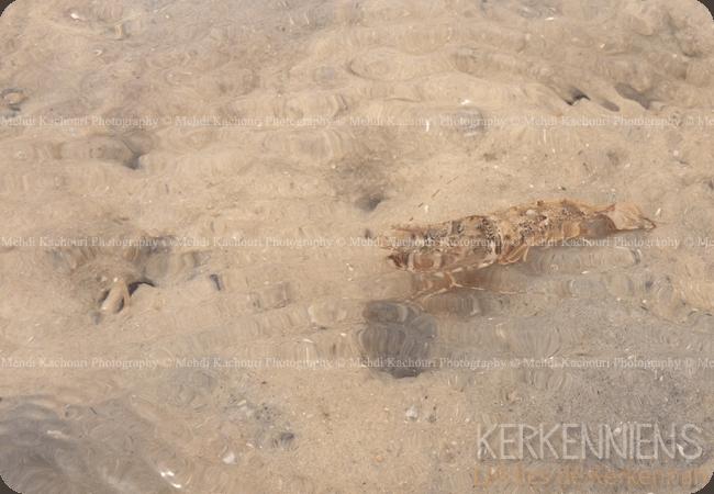 Crevette grise de kerkennah-kerkena kerkenna photo-1