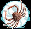 Crustacés et Fruits de mer de Méditerranée Araignée de mer Crabe Araignée Rankabout el bhar Kerkennah Tunisie