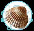 Crustacés et Fruits de mer de Méditerranée Coque Babouch Kerkennah Tunisie