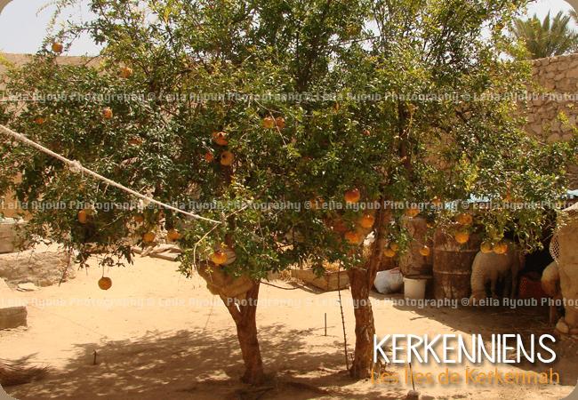 Grenadier interieur patios Kerkennah – Photo de Leila Ayoub Kerkennienne