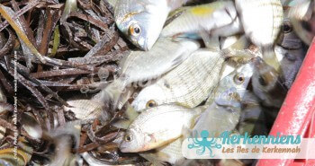 Résultat de la pêche à la nasse (Drina) Kerkennah El ataya
