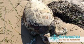 Tortue de mer Biodiversité marine massacre de tortues de mer à Kerkennah Tunisie
