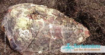 Carapace de Tortue de mer Biodiversité marine massacre de tortues de mer à Kerkennah Tunisie