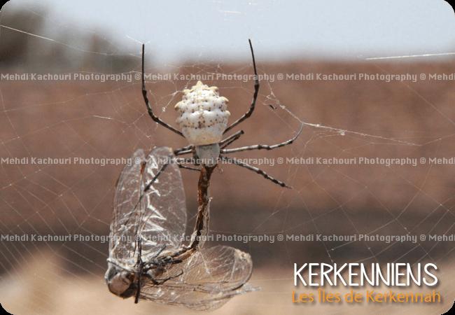 combat entre une araignée et une libellule