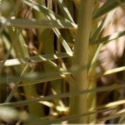 Palm palmier photo macro