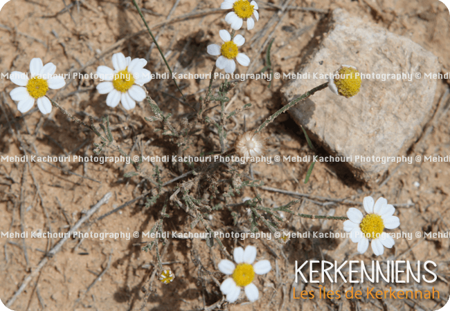 Petite fleur blanche de printemps - Kerkennah Kerkena