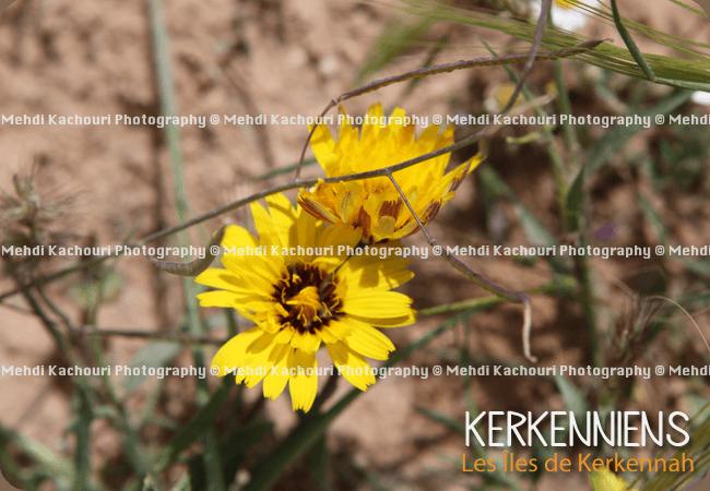 Photo de fleur jaune de Kerkennah Kerkena