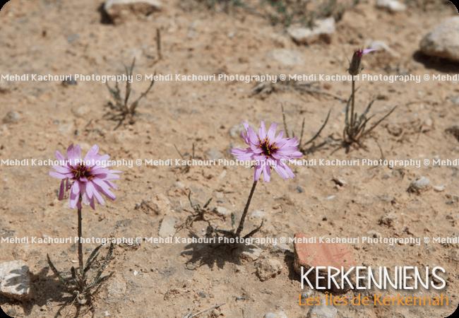 Petite fleur violette sauvage de Kerkennah, Kerkena