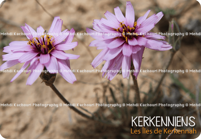 Photo Macro de petite fleur violette sauvage de Kerkennah, Kerkena