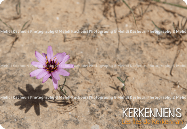 Photo de fleur sauvage violette de Kerkena Kerkennah