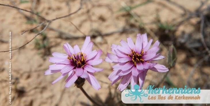 Focus sur une fleur de Kerkennah Tunisie