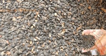 Graines pin d'alep Assida zgougou tunisie