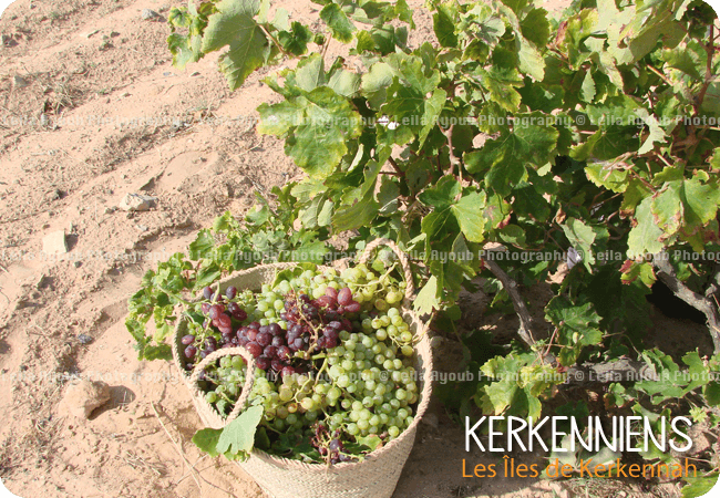 Grappe de raisin rouge jaune Kerkennah – Photo de Leila Ayoub Kerkennienne