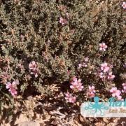Des fleurs sur l'îlot de Grimdi – Archipel de Kerkennah