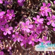 Les fleurs sur l'îlot de Grimdi – Archipel de Kerkennah