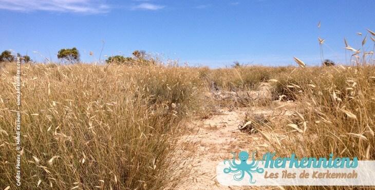 La végétation sur l'îlot de Grimdi – Archipel de Kerkennah