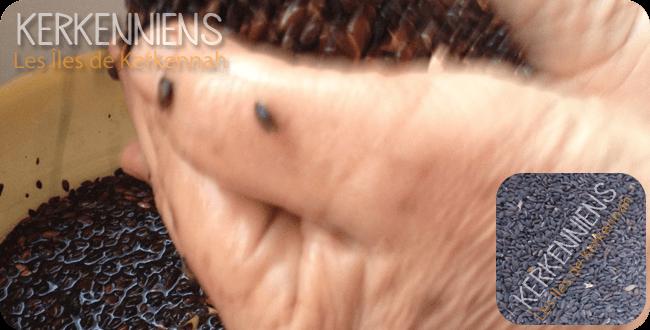 laver graines pin d'alep assida zgougou tunisie
