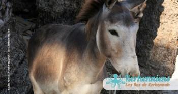 Sauvons les ânes des île de kerkennah