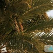 Branches de palmier