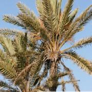 Palmier dattier de Kerkennah