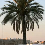 Palmier photo de palmier à Kerkennah