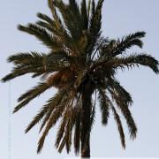 Palmiers des iles Kerkennah