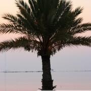 Portrait de palmier kerkennien