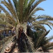 Palmier des Iles de Kerkennah