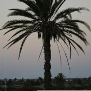Palmier de Kerkennah