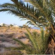 Palmiers kerkenniens