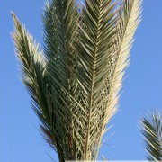 Palmes et palmier à Kerkennah