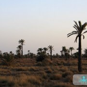 Champ de palmier à Kerkennah