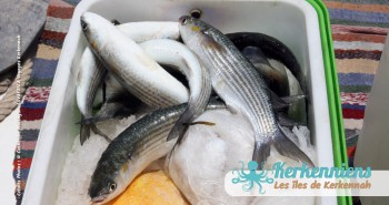 Pêche à la Sautade Damassa pêche au mulet à Kerkennah image 21