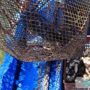 Les nasses pleines de poissons