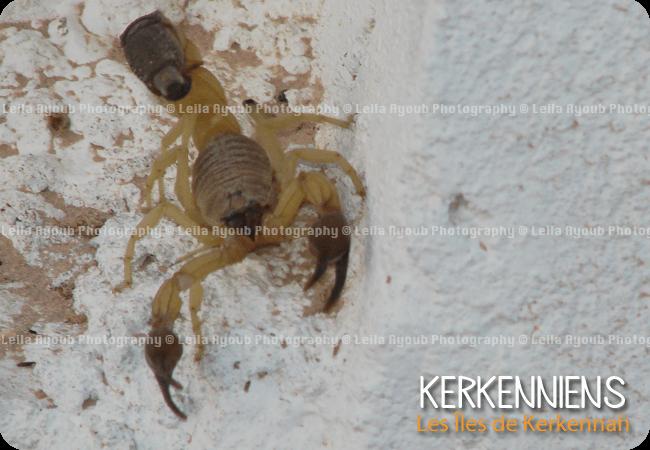 Scorpion Kerkennah – Photo de Leila Ayoub Kerkennienne
