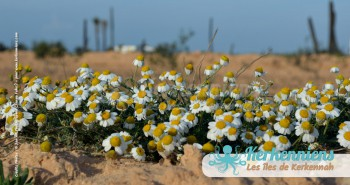 Tapis de marguerite Kerkennah San'Art Photographie (Sanna Fehri) Photographe Amateur El Maghaza
