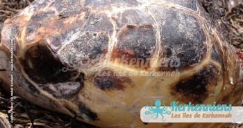 Tête de tortue Biodiversité marine massacre de tortues de mer à Kerkennah Tunisie