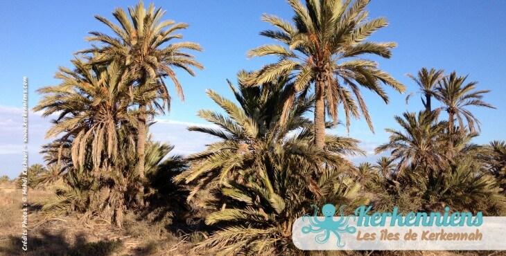 Tourisme à Kerkennah Les palmiers Kerkennah